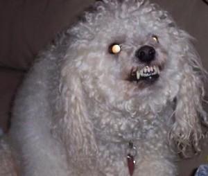 evil-poodle